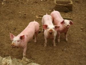 trois-cochons